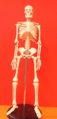 Kroppen - skelett